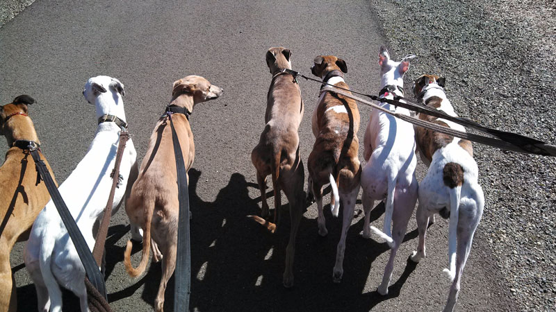 Jammin' Whippets out for a walk.