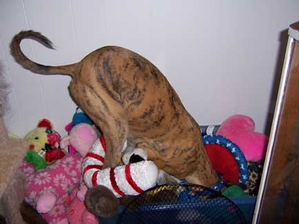 Cayman digging for her toys in a friends toy box!