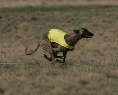 Chai running at the 2006 AWC National Specialty ASFA trial,