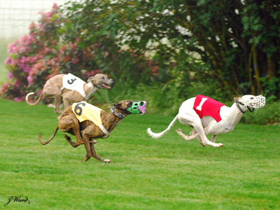 Chai (#6 blanket) and Cochiti (#1 blanket) racing in OR. Photo courtesy of Julie Ward.