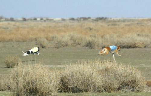 Jam in California open field coursing with a Saluki in The Coursing Conservancy